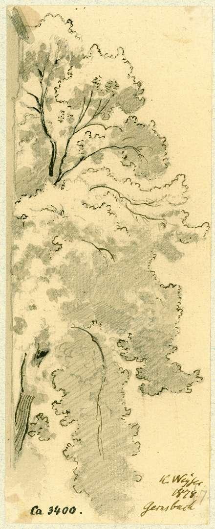 Gernsbach Laubbaum beim Storchenturm, Bild 1