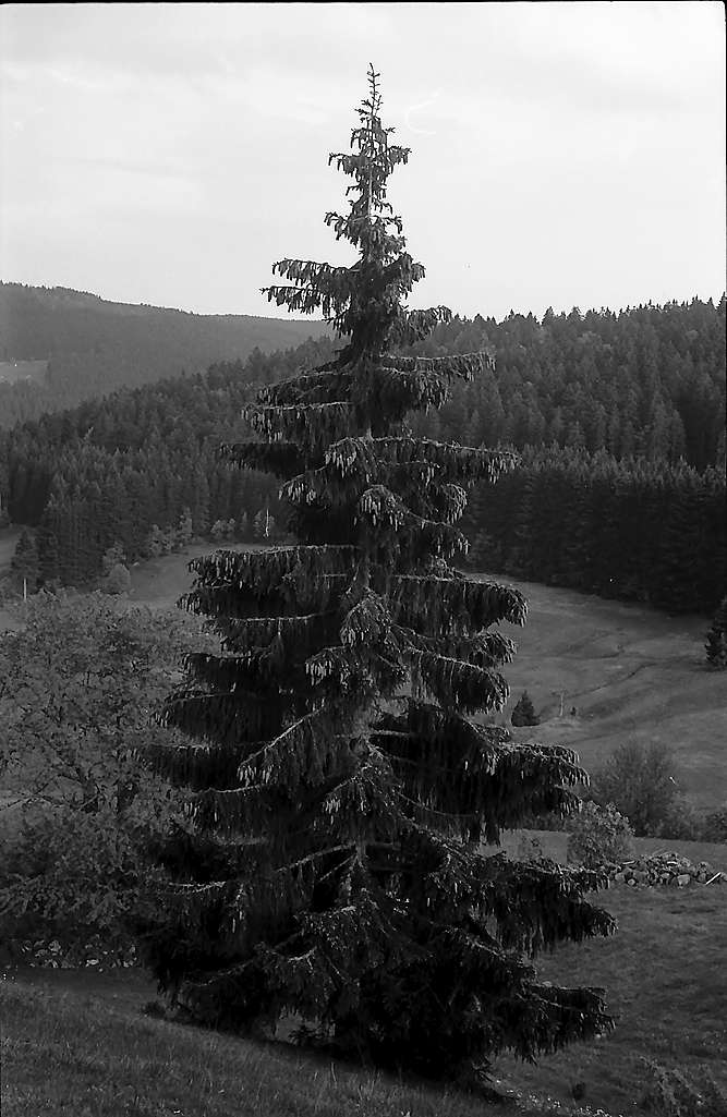 Alleinstehende Tanne in Blasiwald, Bild 1