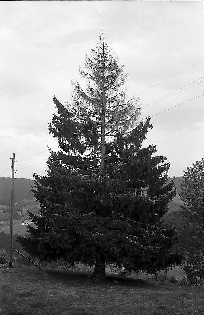 Kranke Tanne mit verdorrter Krone in Blasiwald, Bild 1