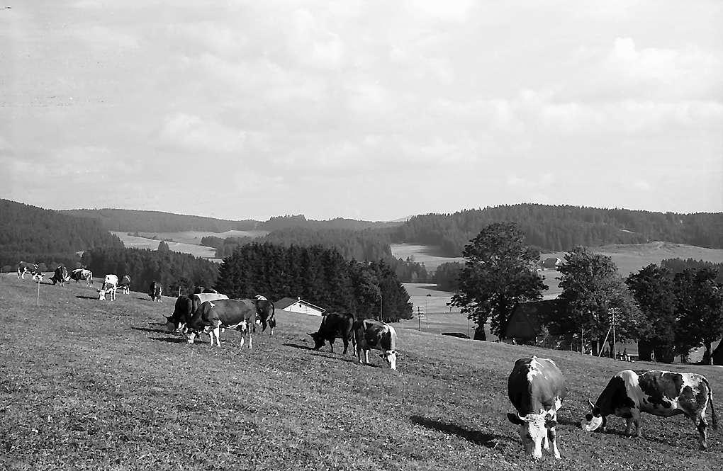 Kühe auf einer Weide in Breitnau, Bild 1