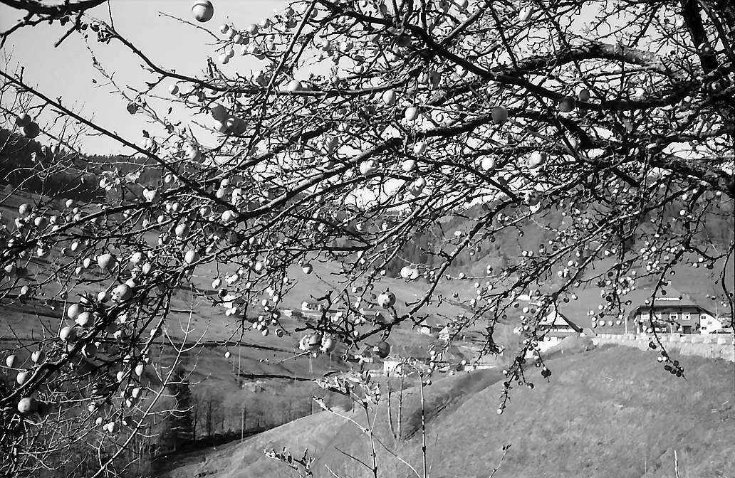 Herbstäpfel am Baum bei Aftersteg, Bild 1
