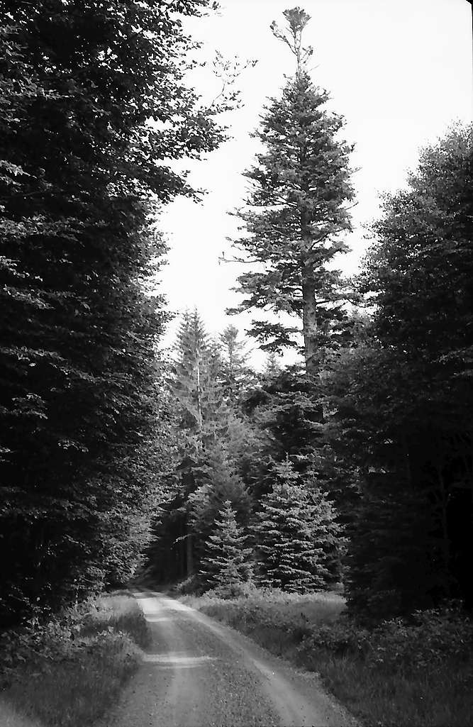 Schöne und interessante Tannen im Wald bei Todtmoos, Bild 1