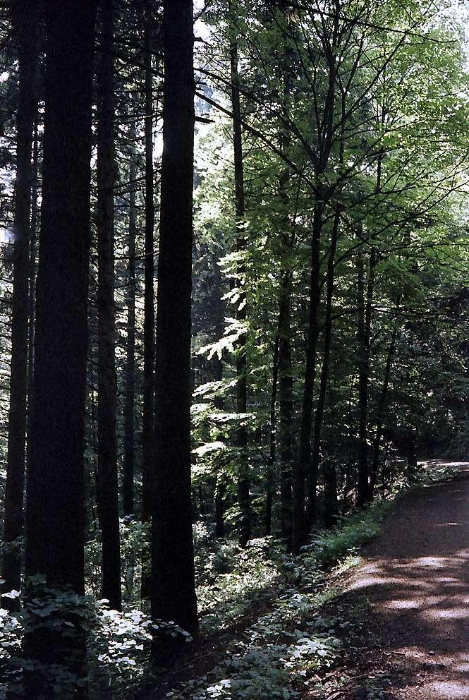 Waldweg auf dem Rinken, Bild 1