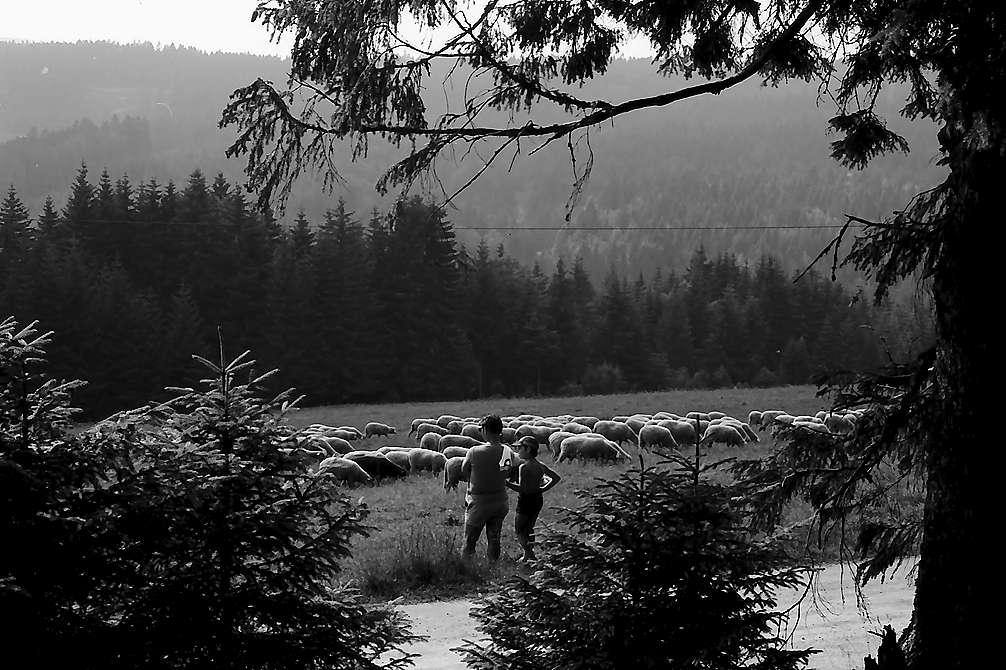 Schafherde am Lachenwasen bei Todtnauberg mit Personen im Hintergrund, Bild 1