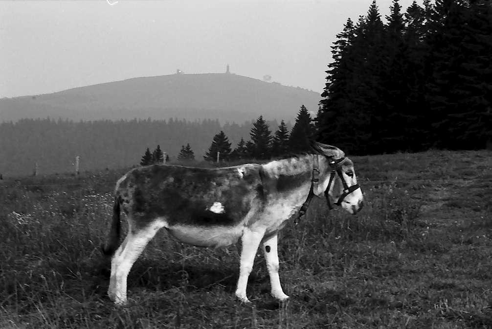 Esel auf einer Weide am Stübenwasen, Bild 1