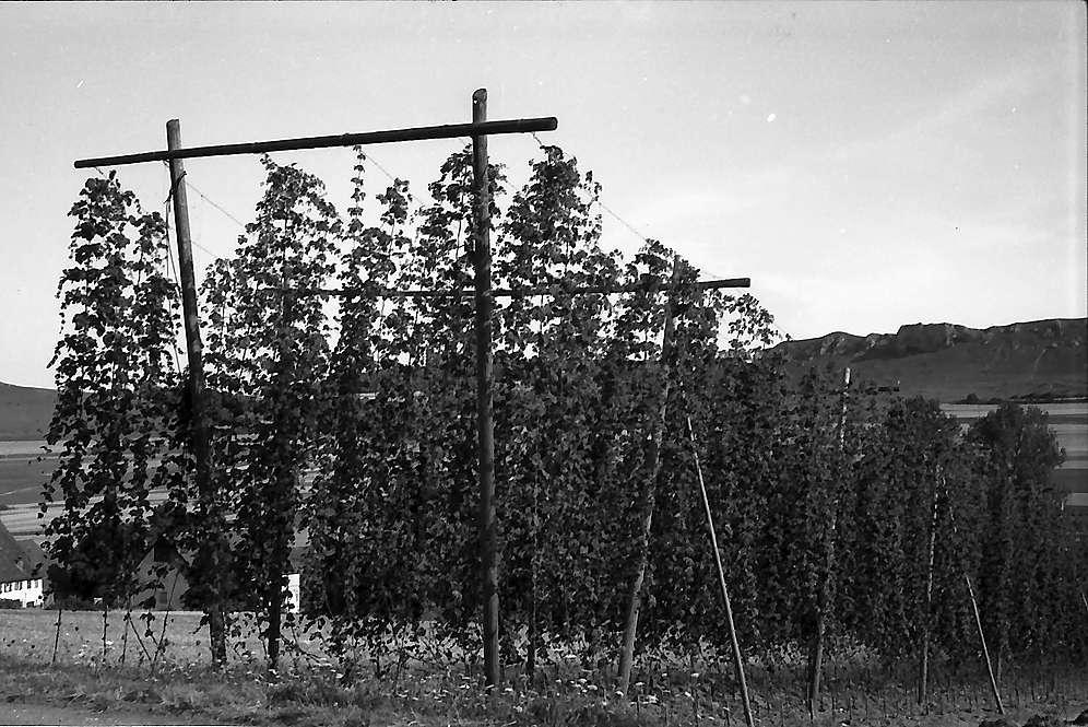 Bopfingen: Hopfenanbau im Ries, Bild 1