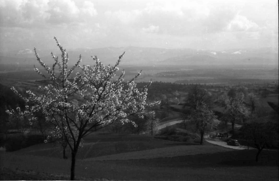 Vogtsburg, Pass: Blick vom Pass auf den Schwarzwald, Blütenbaum und Serpentine, Bild 1