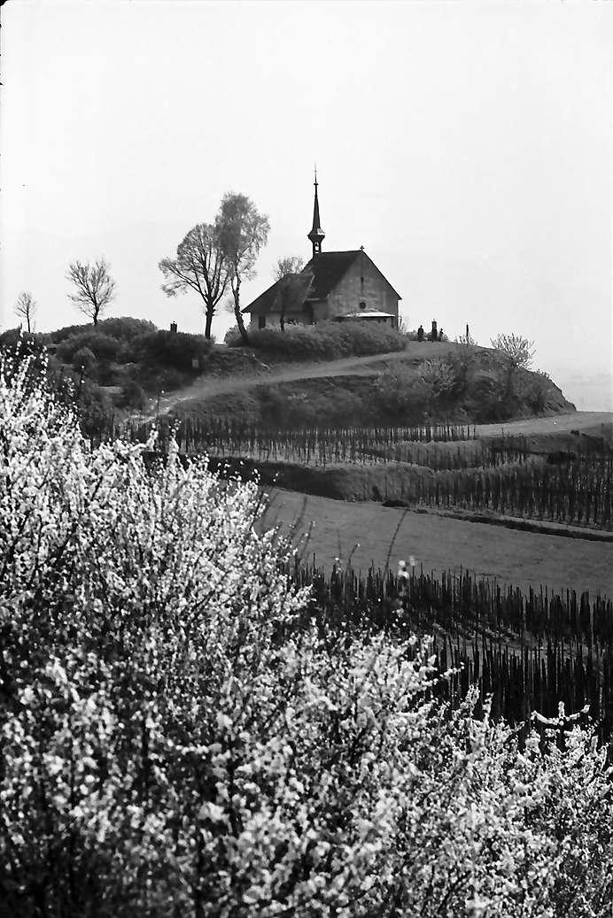 Munzingen: Kapelle auf dem Tuniberg, Ehrentrudiskapelle [Erentrudiskapelle], Vordergrund blühender Busch, Bild 1