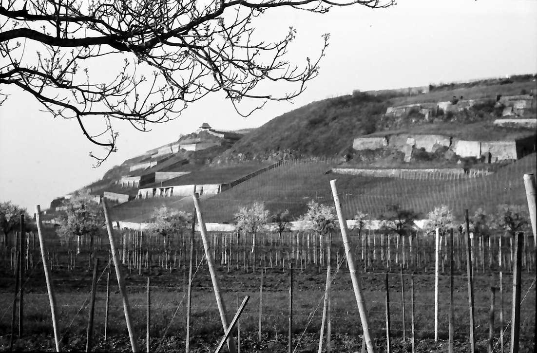 Ihringen: Weinberge auf Terrassen bei Ihringen, Bild 1