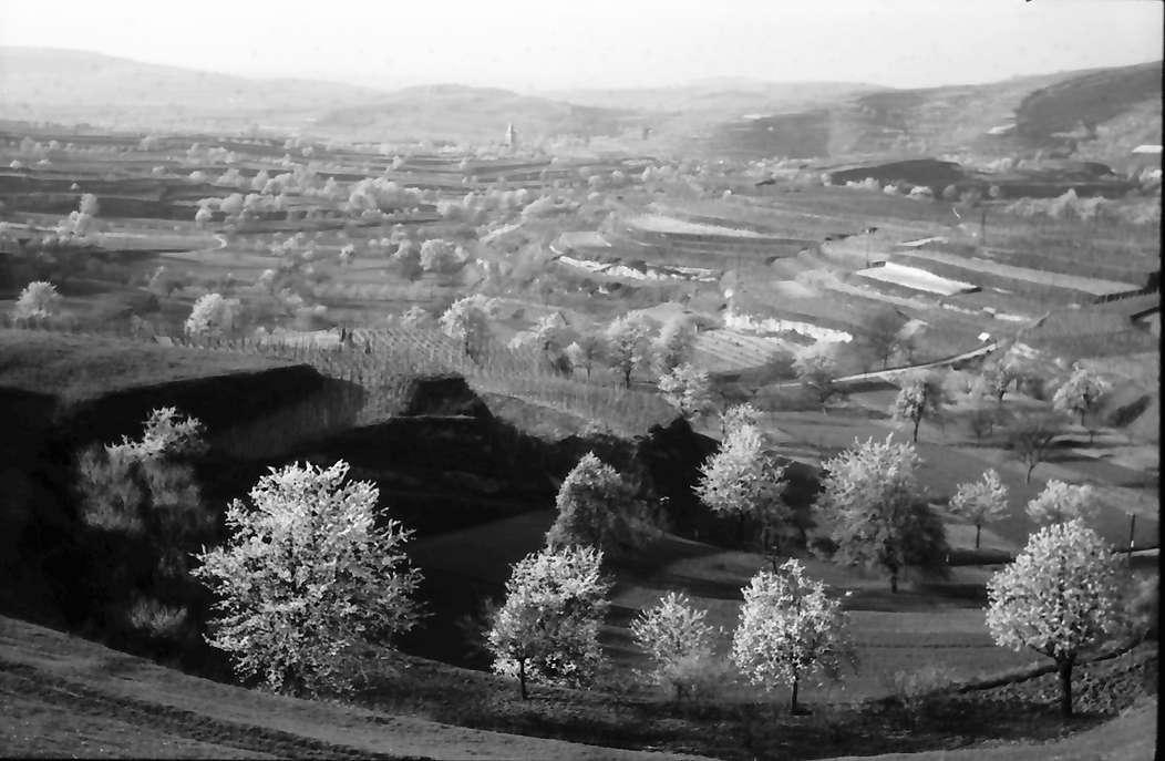 Bickensohl: Blühende Baumgruppen von der Höhe, Bild 1