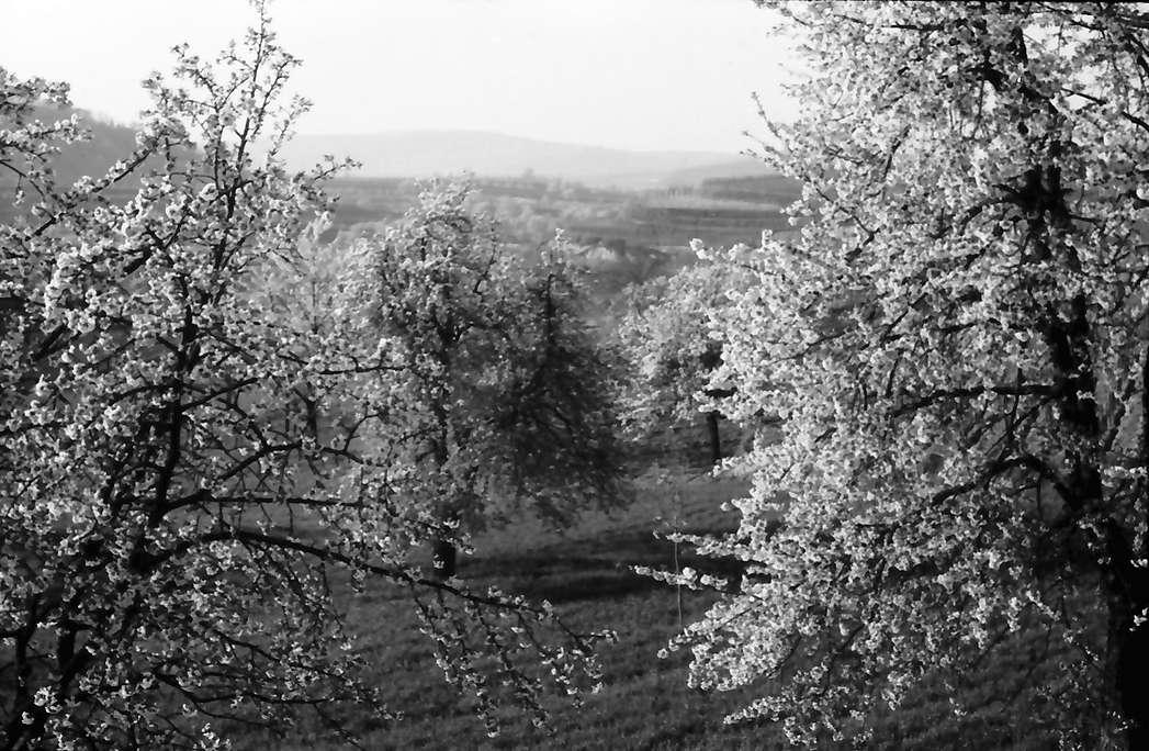 Bickensohl: Blühende Baumgruppen von der Höhe, nahe, Bild 1