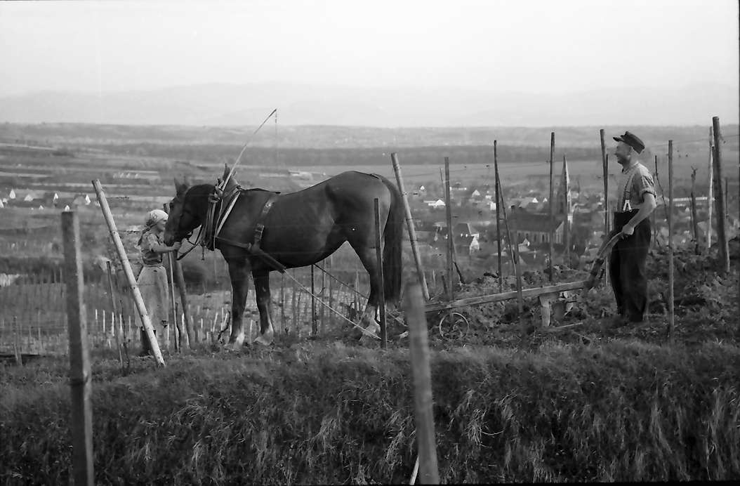 Ihringen: Pflug mit Pferd zwischen Weinreben, Bild 1