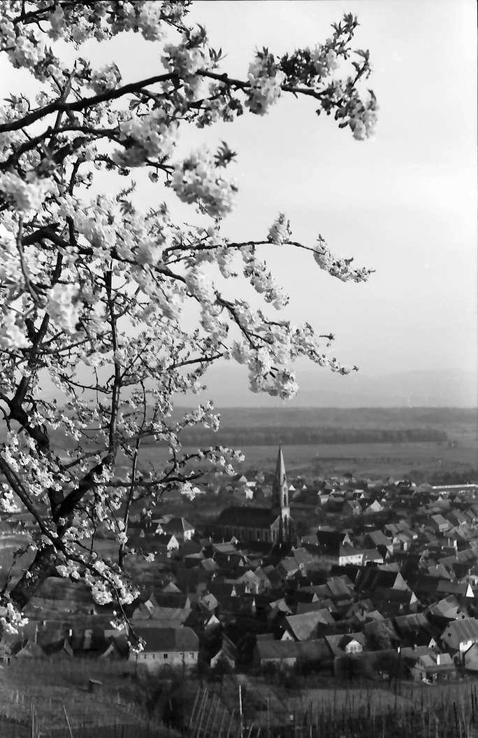 Ihringen: Blühender Kirschbaum und Blick auf den Ort, Bild 1