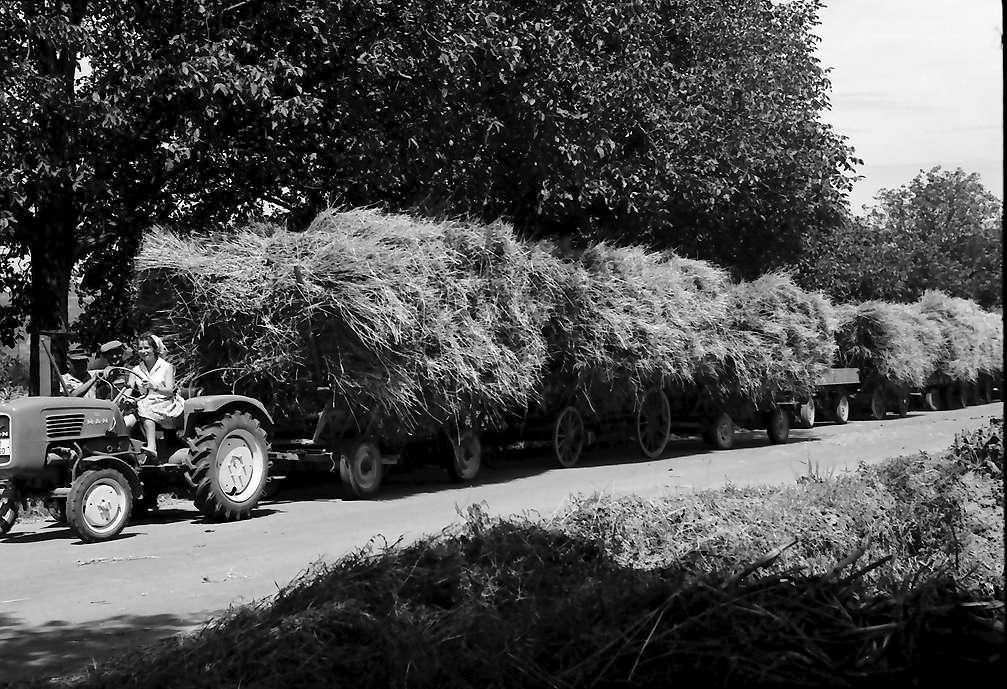 Ihringen: Lange Reihe Erntewagen mit Mädchen auf Traktor, Bild 1