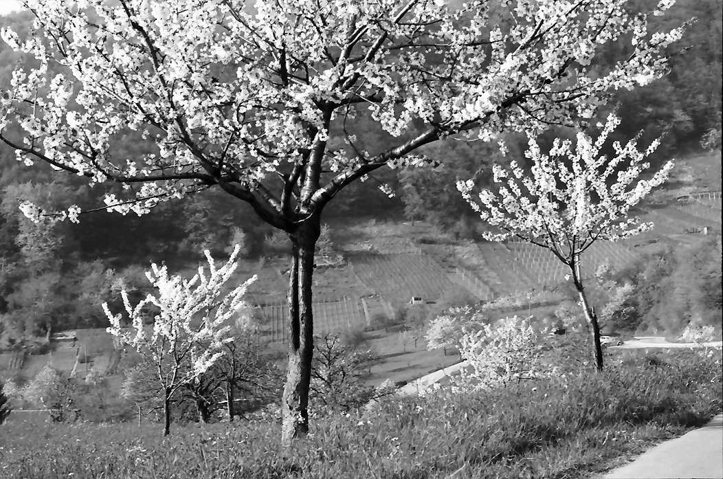 Ebringen: Blütenbäumchen, Bild 1