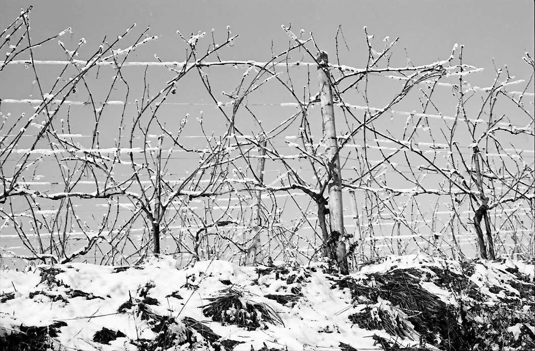 Vogtsburg: Bereifte und verschneite Weinreben, Bild 1