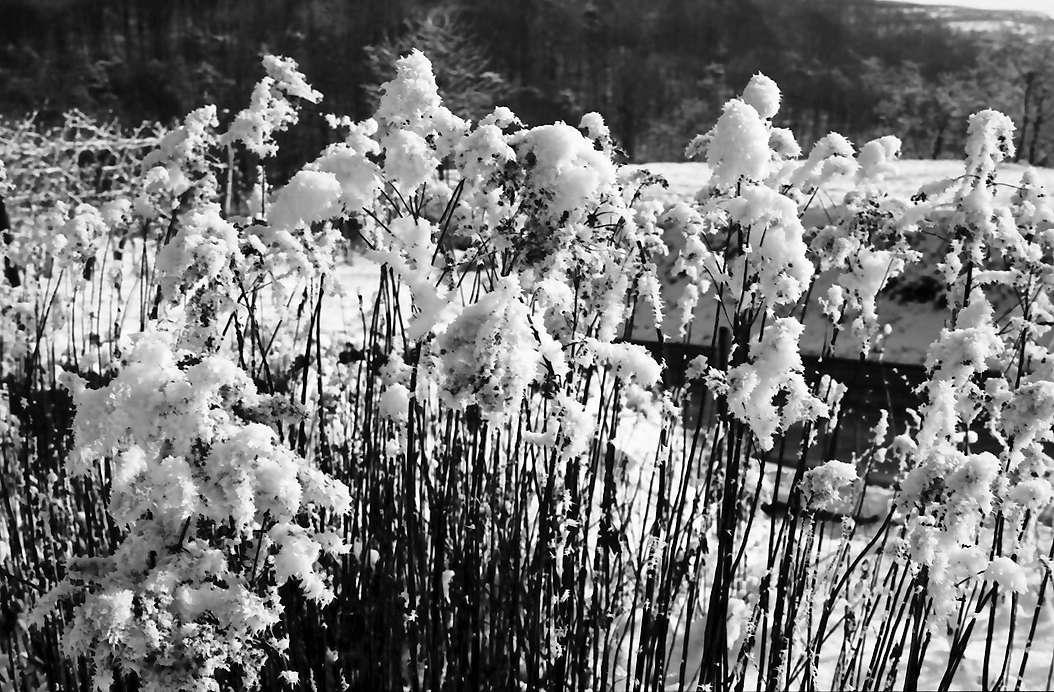 Vogtsburg: Bereifte und verschneite Gräser, Bild 1