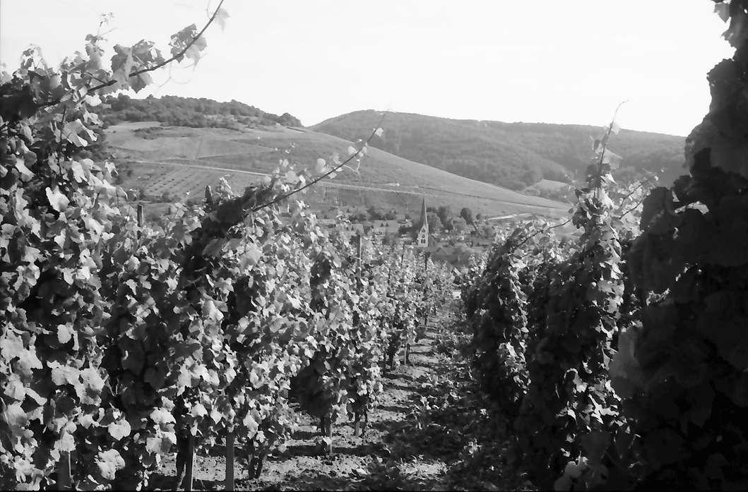 Ebringen: Weinhalde mit Richtung auf den Ort, Bild 1
