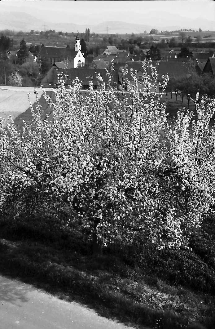 Freiburg, Waltershofen: Von der Höhe auf Waltershofen mit Blütenbaum, Bild 1