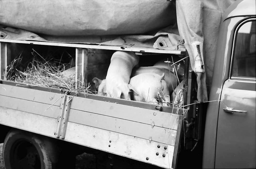 Biberach: Schweinemarkt, Schweine im Transportwagen, Bild 1