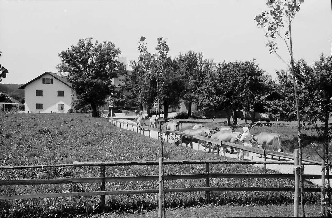 Eglofs: Viehherde auf der Straße, Bild 1