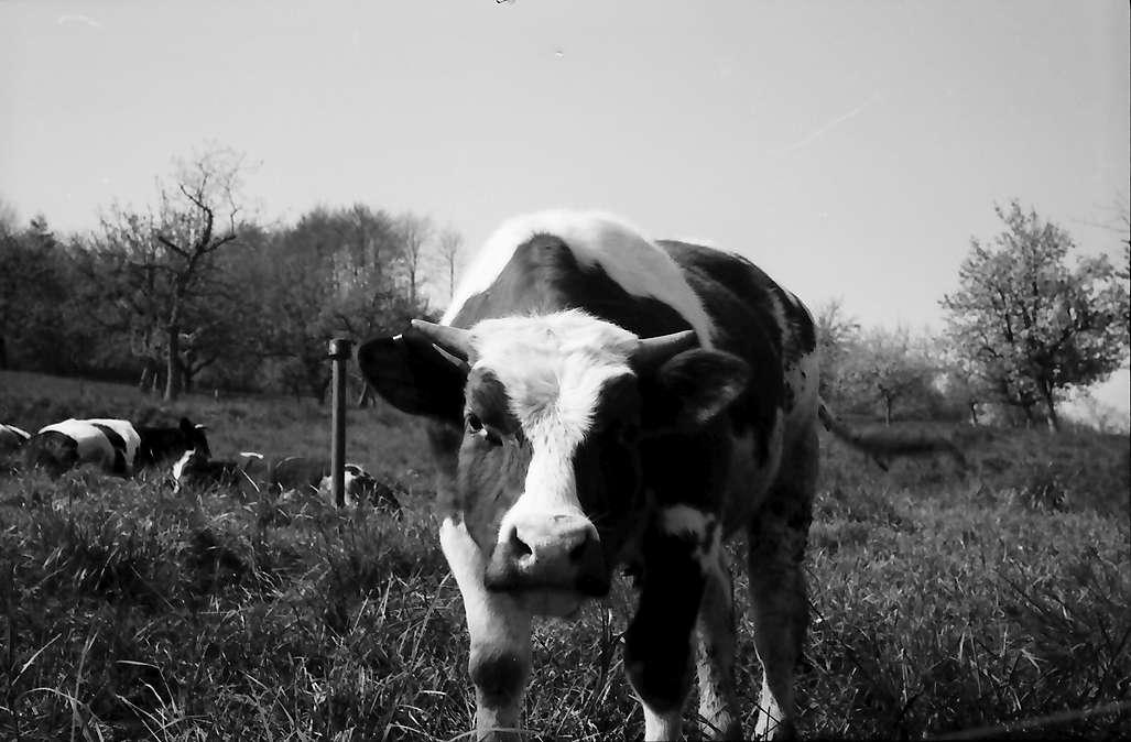 Lörrach, Tüllingen: Kuh, Bild 1