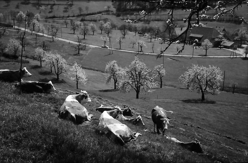 Raitbach: Weidende Kühe unter Blüten, Bild 1