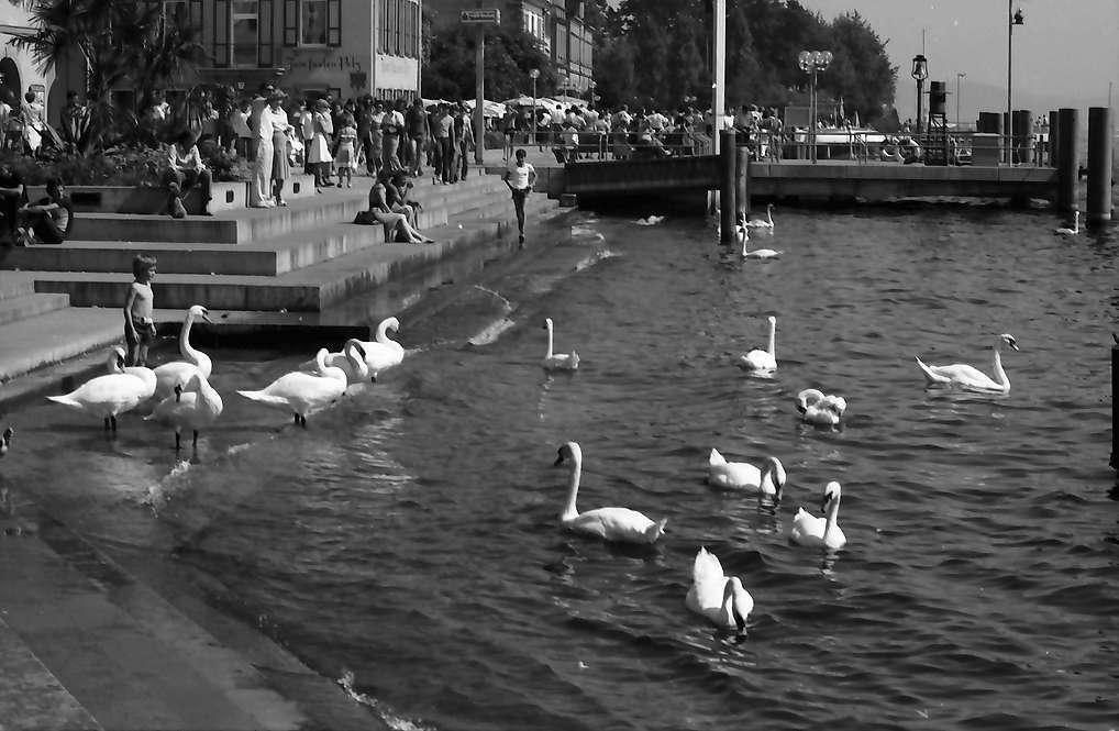 Überlingen: Schwäne am Hafenplatz, Bild 1