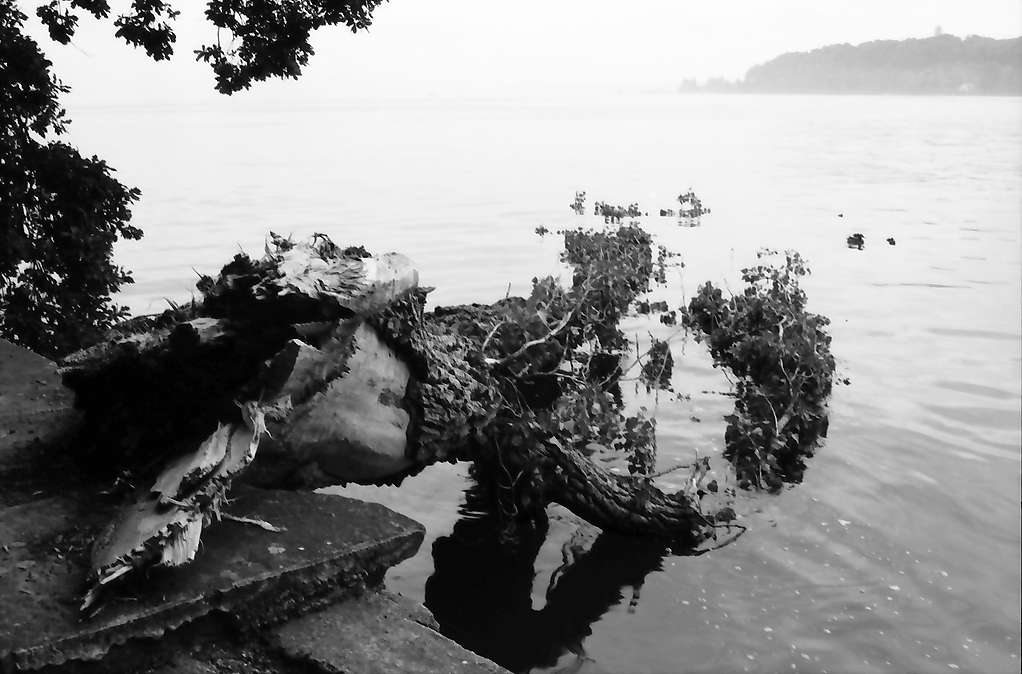 Mainau, Insel Mainau: In den See gestürzte Pappel, Bild 1