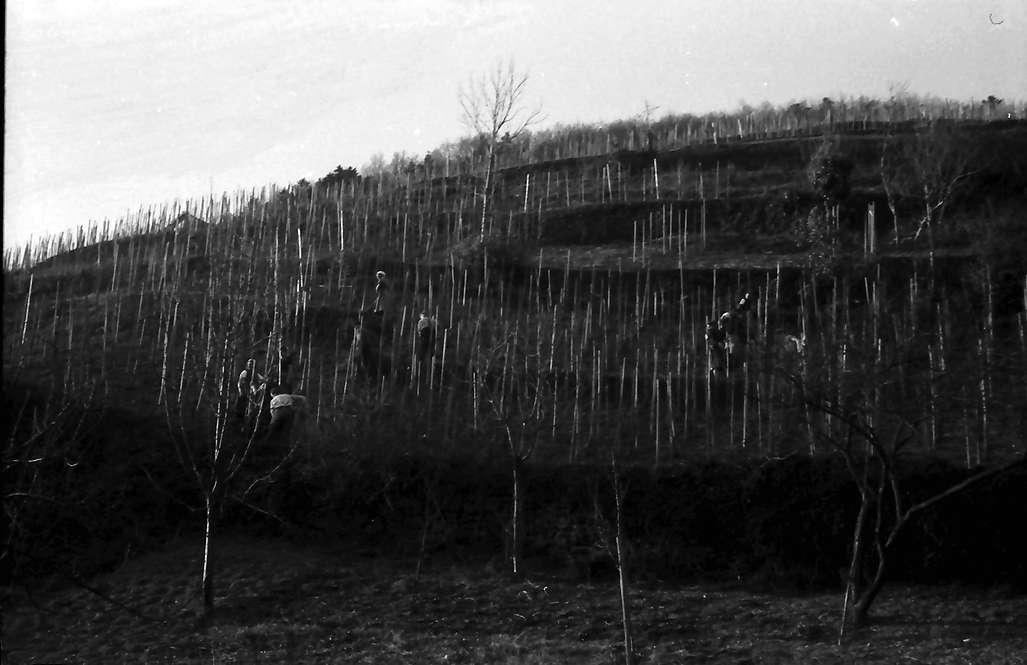 Glottertal: Weinberg im Vorfrühling, Bild 1