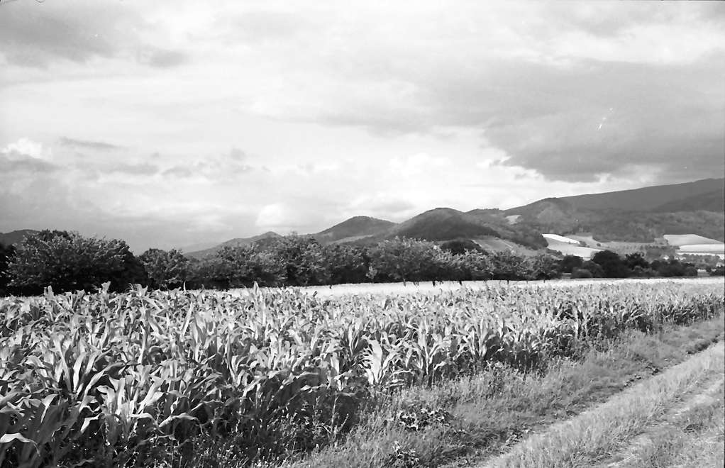 Heuweiler: Maisfeld und Kornfeld und Wolkenhimmel, Bild 1