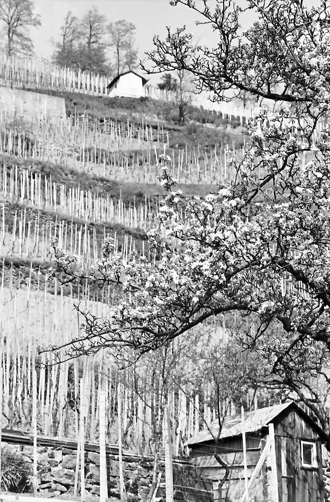 Oberglottertal: Blütenbaum vor Weinberg, Bild 1