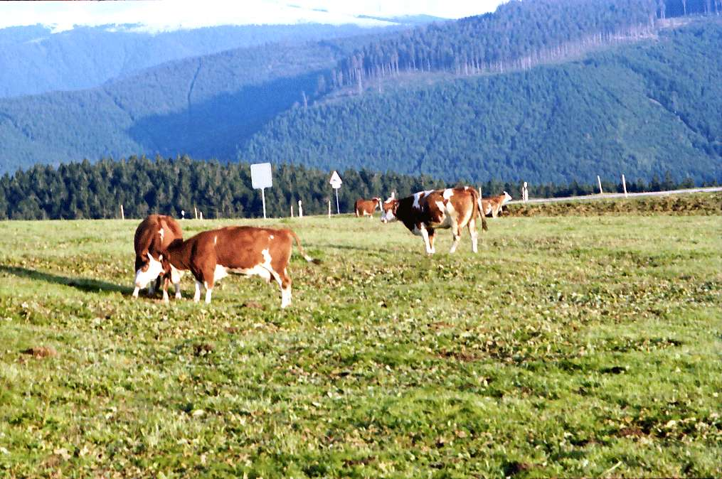 Schauinsland: Feldberg mit Schneehaube; Vordergrund weidende Kühe, Bild 1