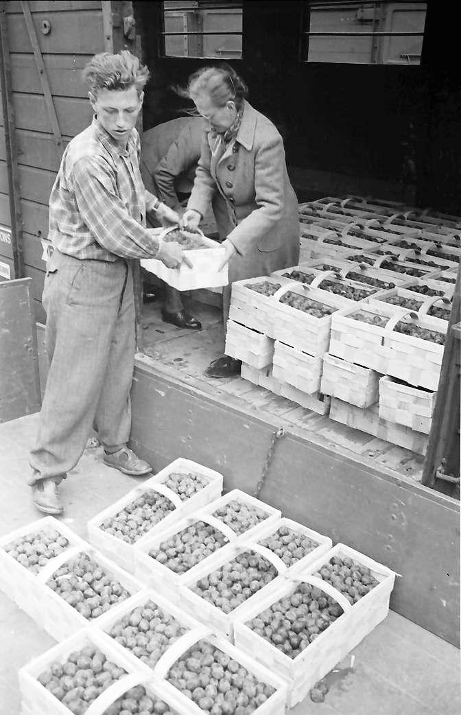 Bühl: Verladen der Zwetschgen in Güterwagen; nahe, Bild 1