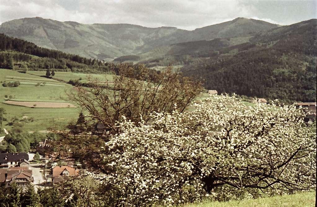 Elzach: Blütenbaum; Hintergrund Elztal und Rohrhardsberg, Bild 1