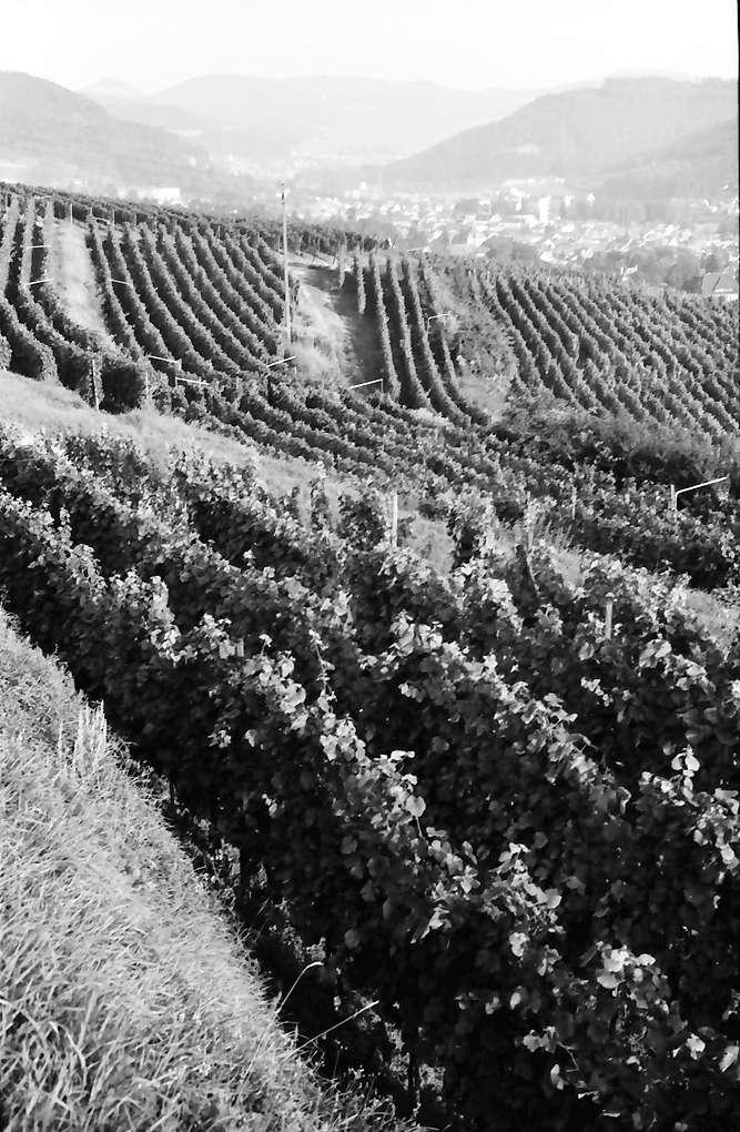 Lahr: Blick über die Weinberge auf die Stadt, Bild 1