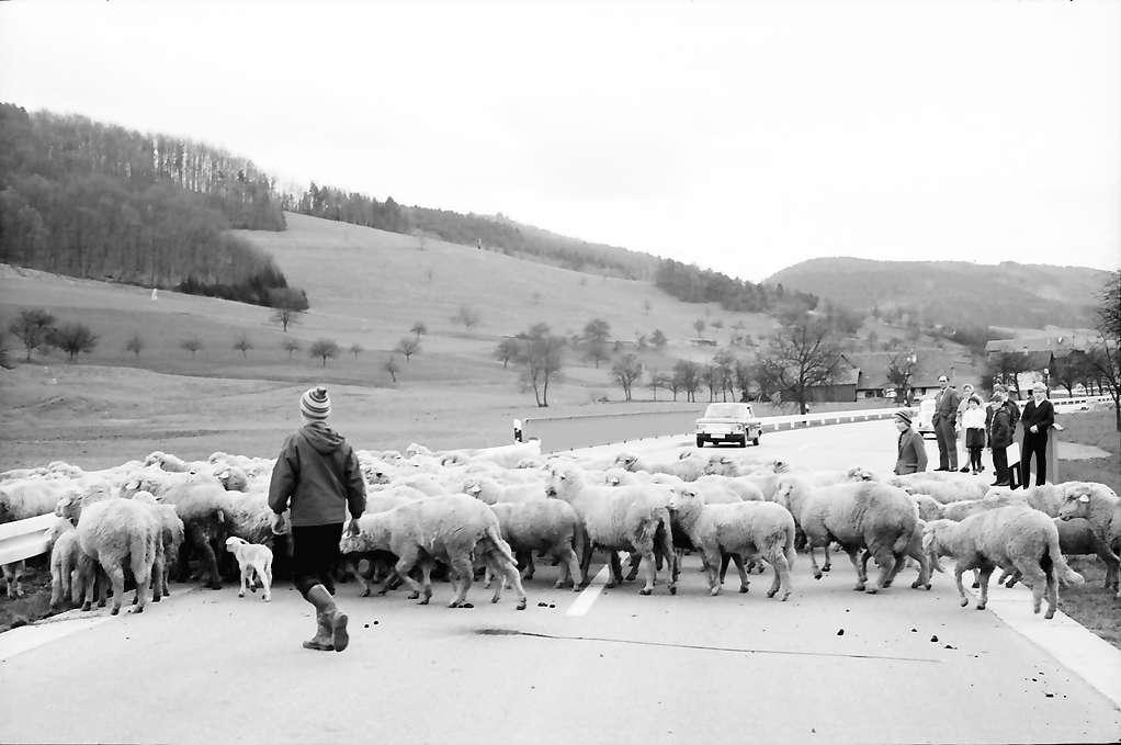 Schuttertal: Schafherde auf der Schuttertalstraße bei Schuttertal, Bild 1