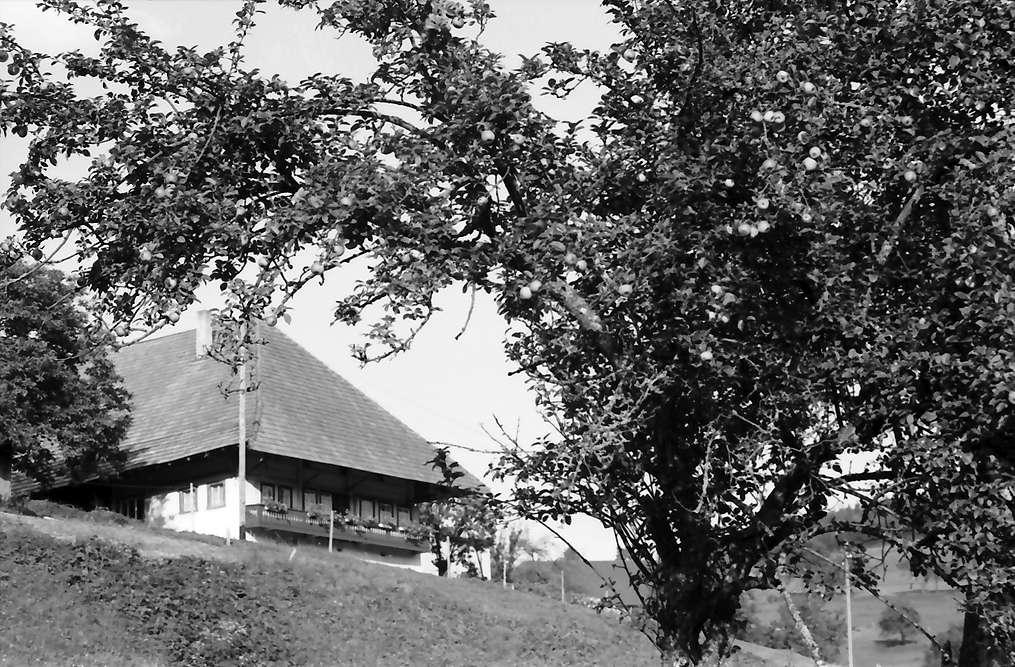 Biederbach: Schwarzwaldhaus; davor Apfelbaum mit roten Äpfeln, Bild 1