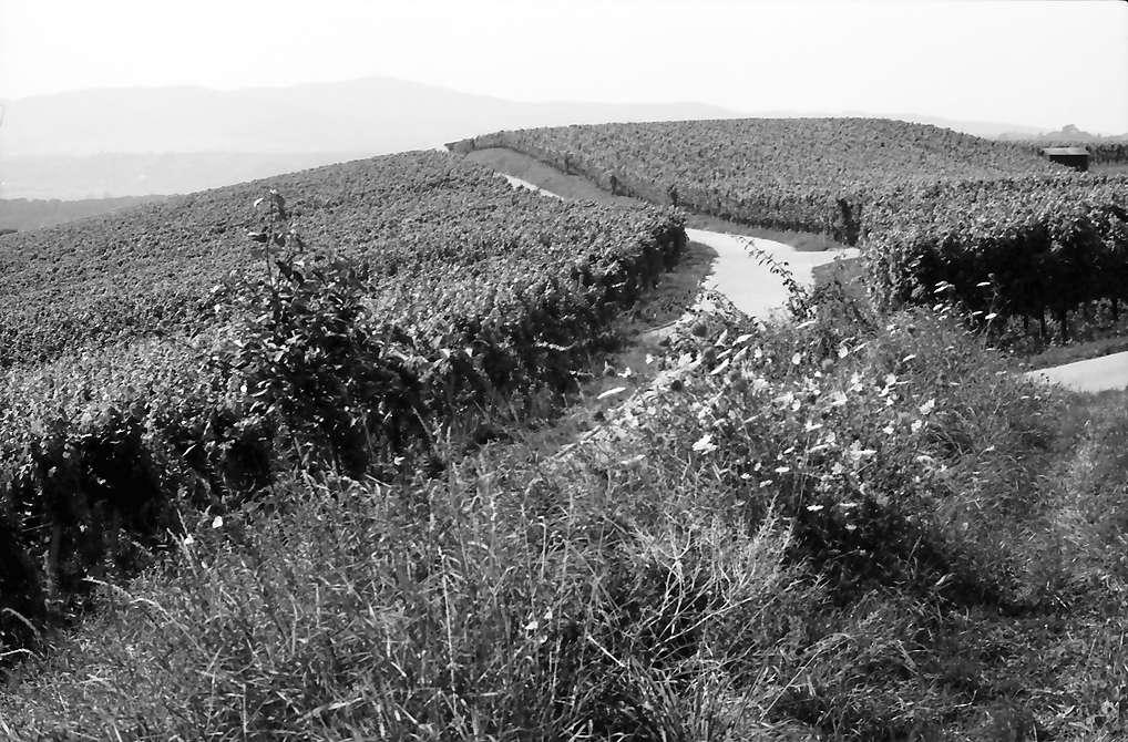 Malterdingen: Weinberge, Bild 1