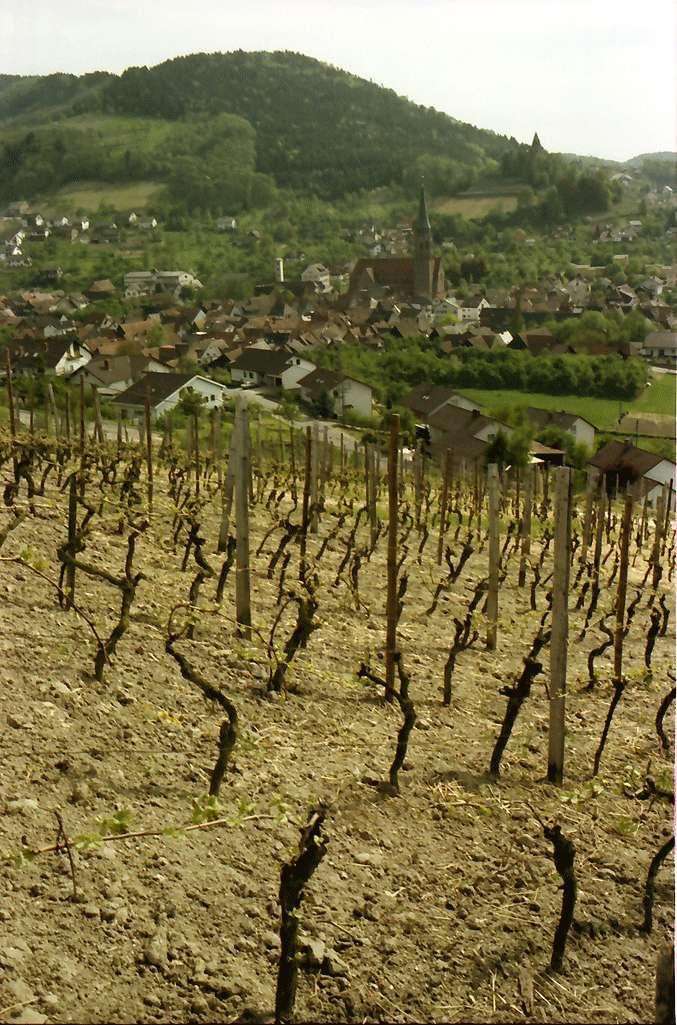 Kappelrodeck: Rebhänge mit jungen Weinstöcken; Stadt und Schloss von Norden, Bild 1