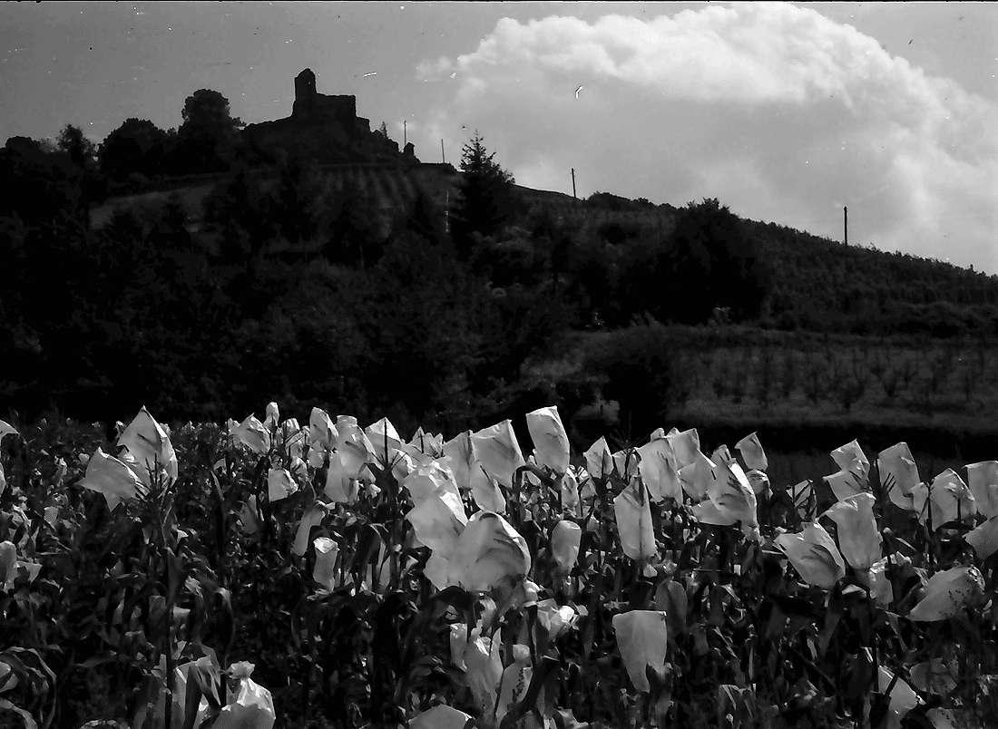 Staufen: Mit Papier eingebundene Maisstauden (mit Burg), Bild 2