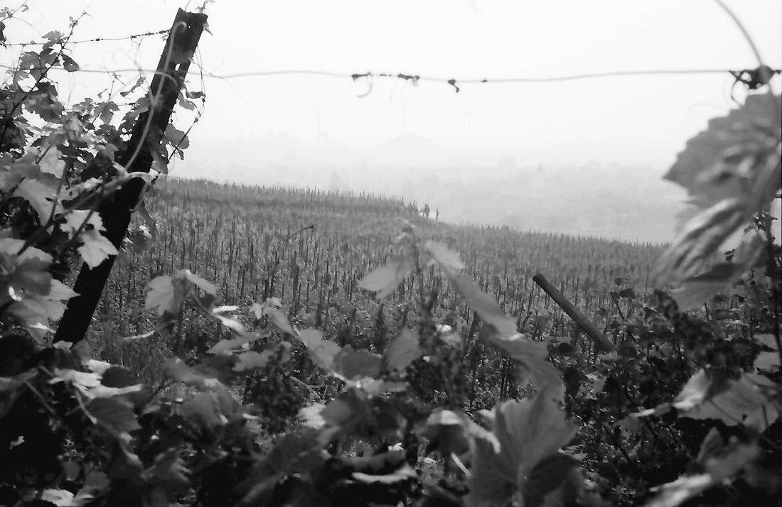 Seefelden: Weinberge bei Seefelden, Bild 1