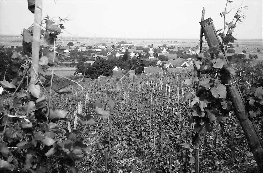 Seefelden: Weinberge bei Seefelden; mit Ort, Bild 1
