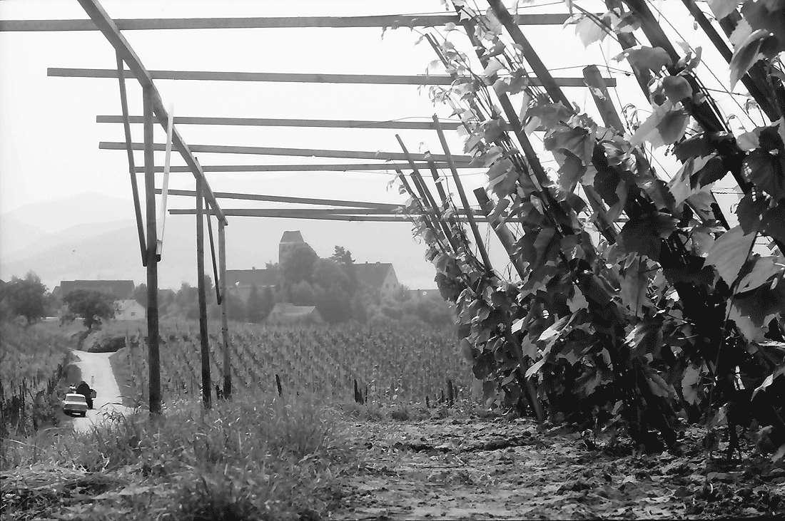 Betberg: Anpflanzung von Veredelungsreben, Bild 2