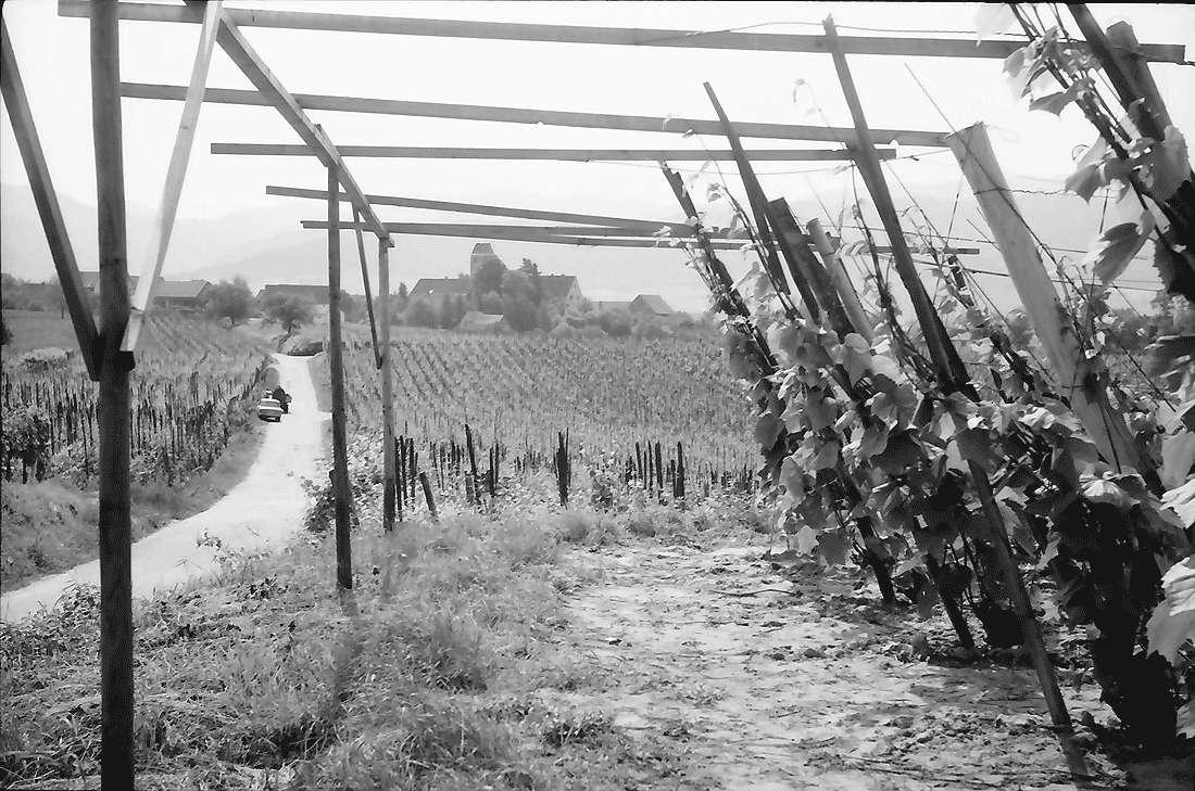 Betberg: Anpflanzung von Veredelungsreben, Bild 1