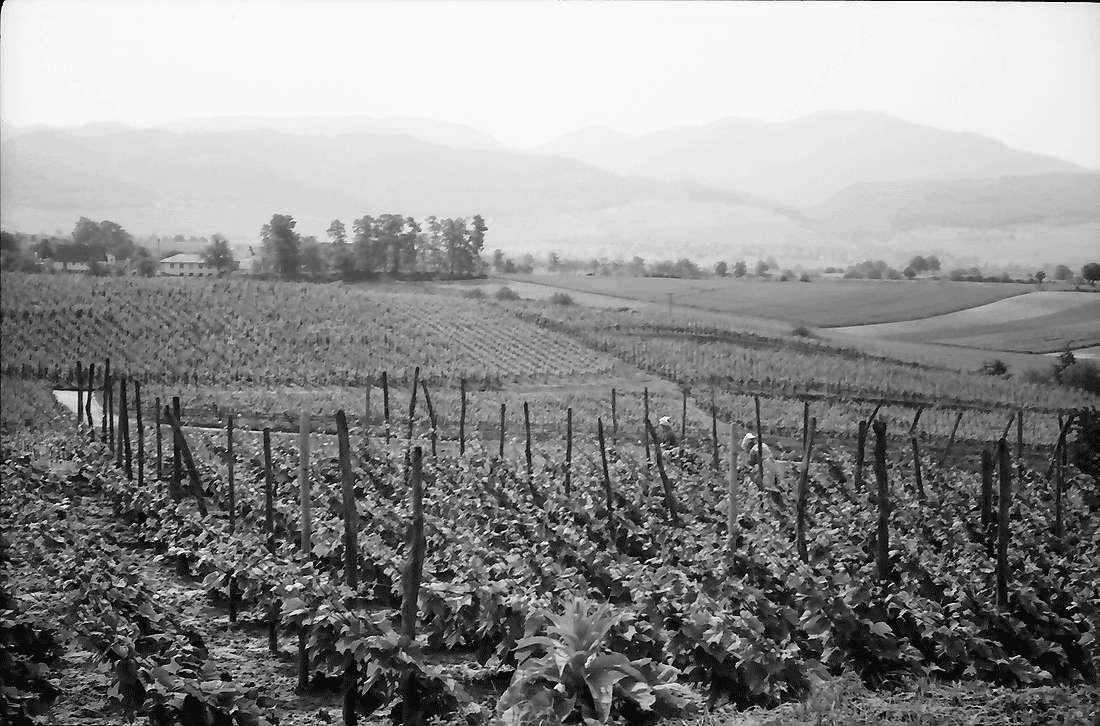 Betberg: Anpflanzung von Veredelungsreben; Rebfläche; Hintergrund Schwarzwald, Bild 1