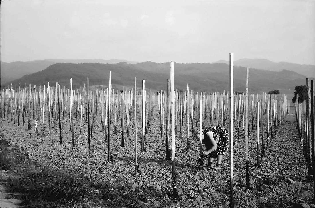 Dottingen: Reb-Neuanpflanzungen, Bild 1