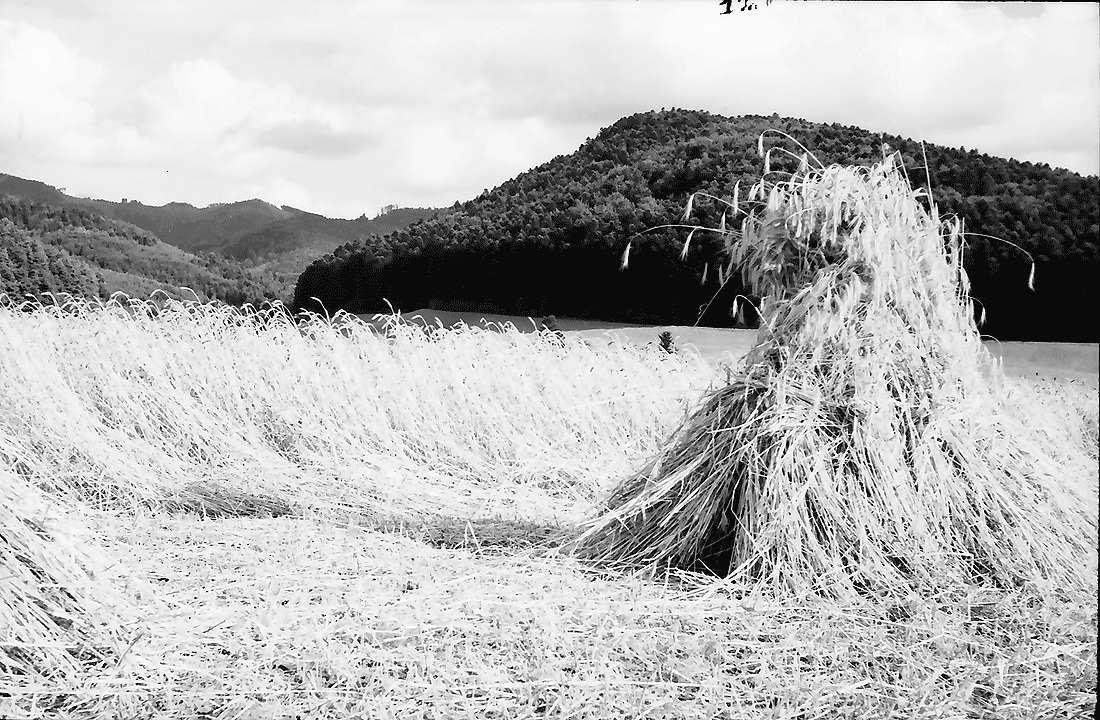 Bollschweil: Getreidegarben; Hintergrund Schwarzwald, Bild 2