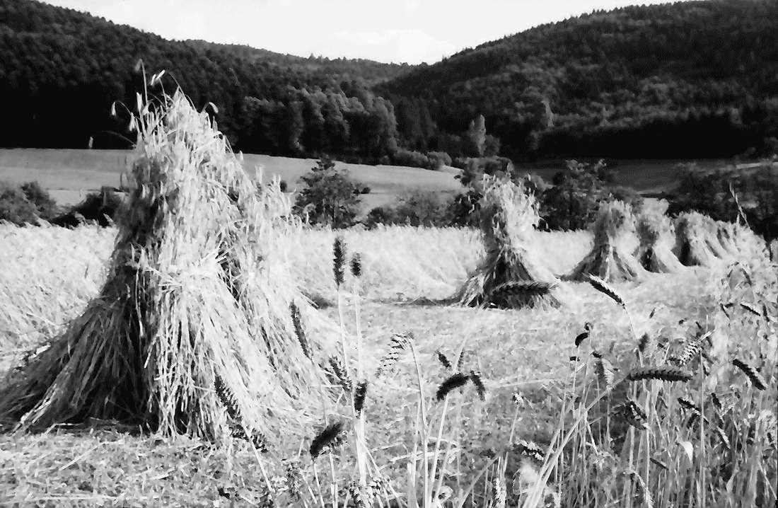 Bollschweil: Getreidegarben; Hintergrund Schwarzwald, Bild 1