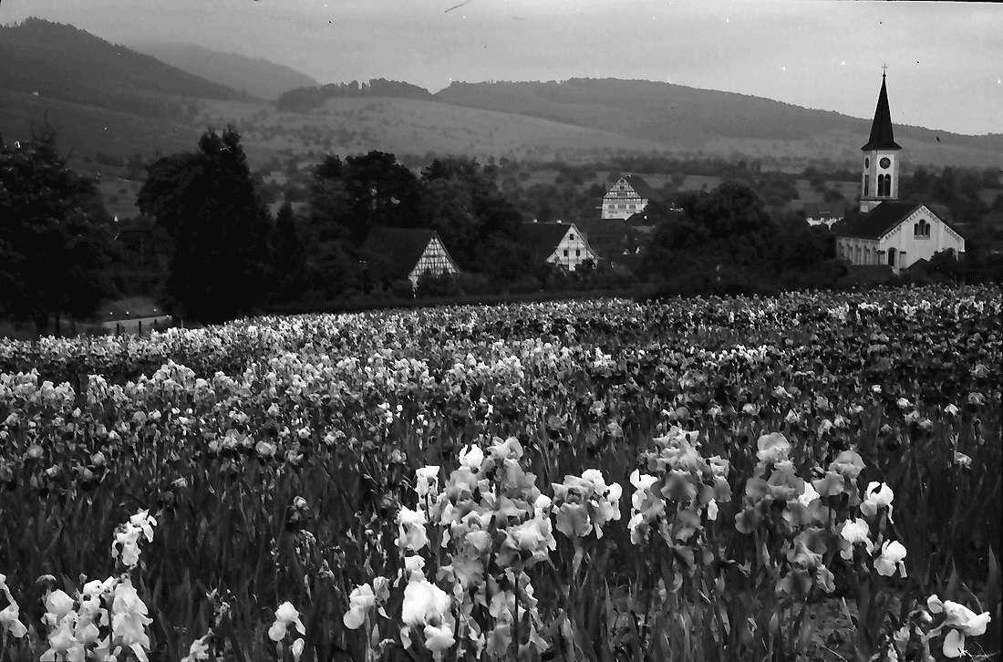 Laufen: Blühendes Irisfeld der Zeppelinischen Gärtnerei, Bild 1